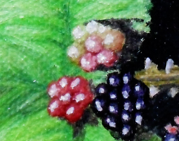 Detail of the blackberries showing the colouration in the unripe and ripening berries. Copyright (c)2015 Paul Alan Grosse